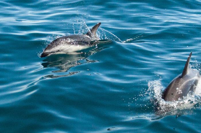 Nage avec les dauphins à Akaroa <br/> <span style='font-size:20px;'>Nouvelle-Zélande - Île du sud</span>