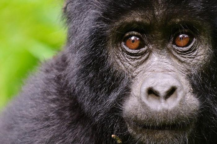 Sur la Piste des Gorilles <br/> <span style='font-size:20px;'>Tanzanie - Rwanda </span>