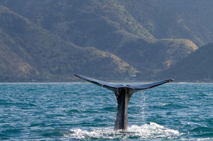 Croisière d'observation des baleines <br/> <span style='font-size:20px;'>Nouvelle-Zélande - Kaikoura</span>